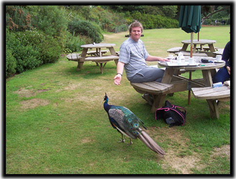 Lunch With Peacocks